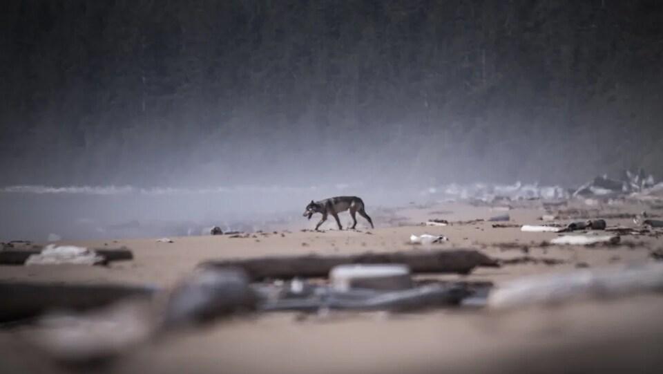 Le loup, au loin, se dirige vers l'eau.