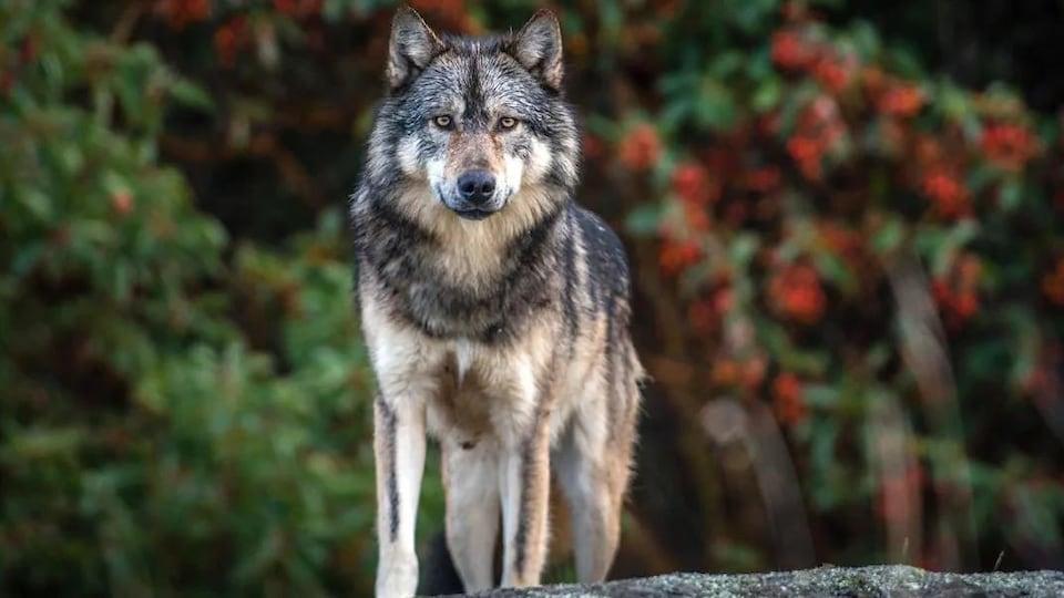 Gros plan sur un loup au pelage noir, blanc et beige.