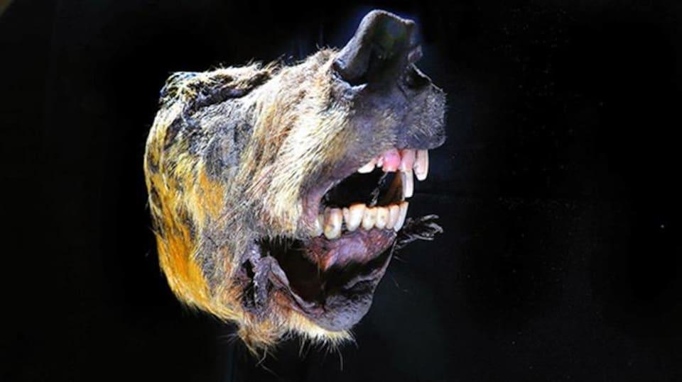 Une tête d'un loup géant, découverte en Russie