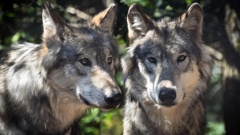 Deux loups.