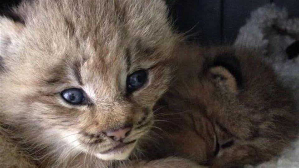 Deux petits lynx du Canada.