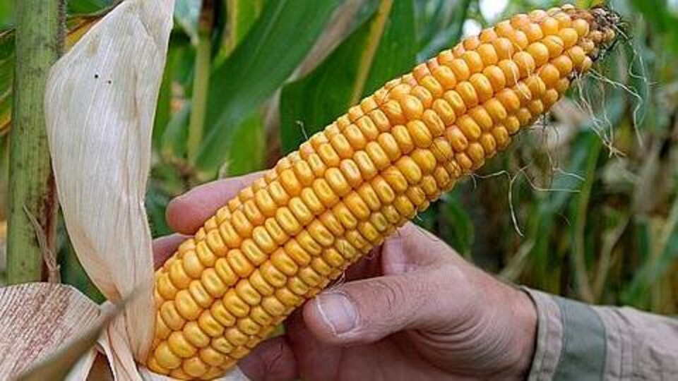 La totalité des champs de maïs du Québec sont traités avec des pesticides néonicotinoïdes.
