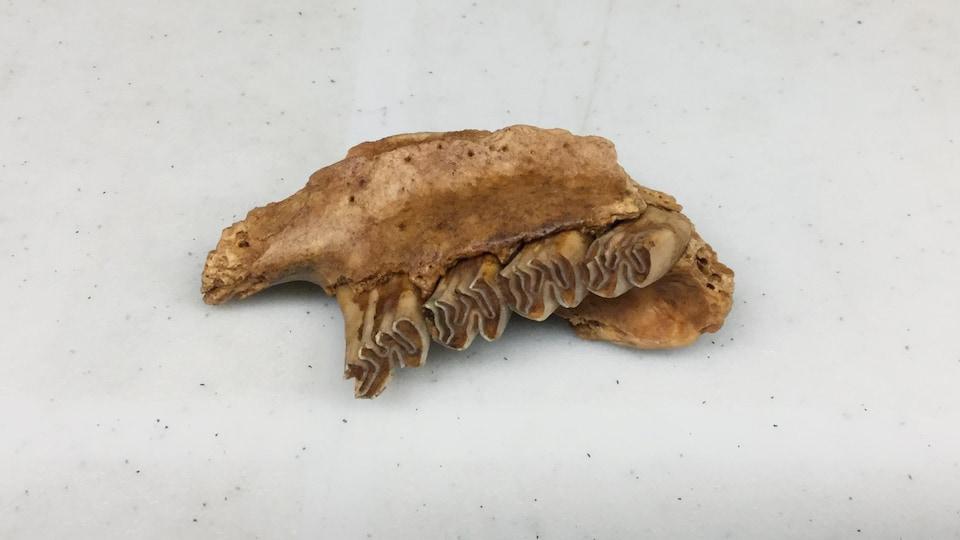 Une mandibule de castor