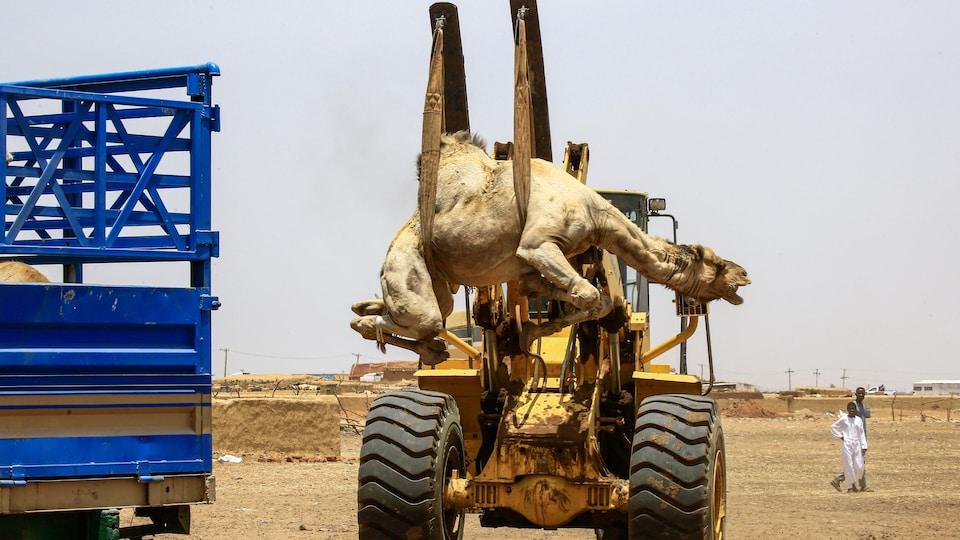 Un chameau est soulevé par un engin pour être chargé dans un camion.
