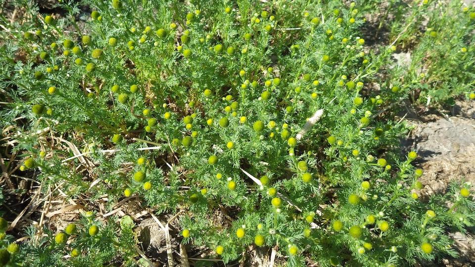 Des mauvaises herbes où ont poussé gros boutons ressemblant à ceux de la marguerite.