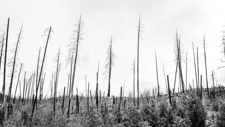 Des arbres incendiés à McLure, dans l'Intérieur de la Colombie-Britannique.