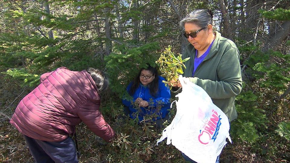 Dans un sous-bois, trois femmes innues récoltent du thé du Labrador.