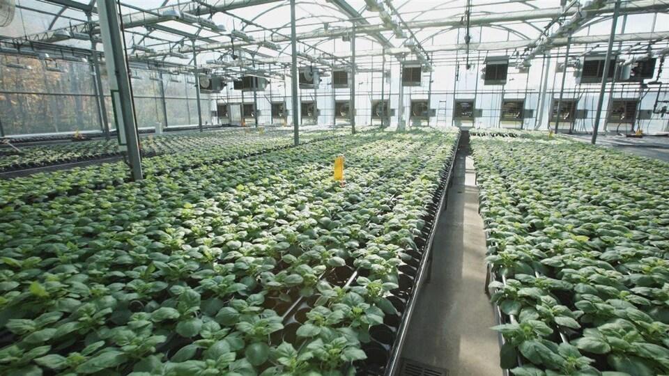 Des plantes dans une usine de la société Medicago