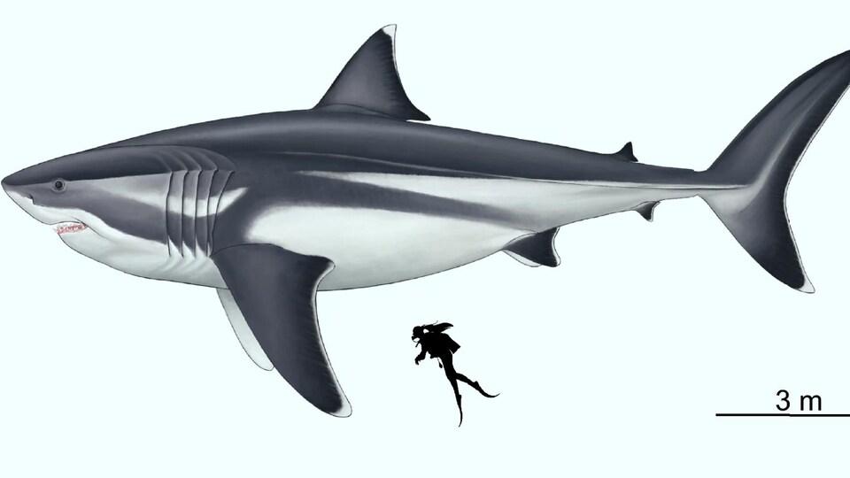 Représentation artistique d'un mégalodon de 16 m et d'un humain de 1,65 m.