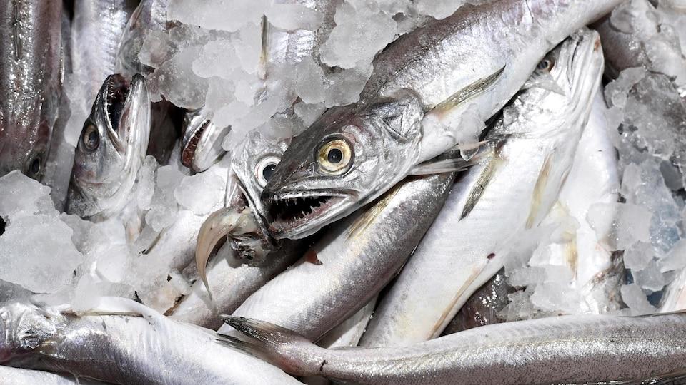 Merlus argentés conservés dans de la glace, dans une poissonnerie.