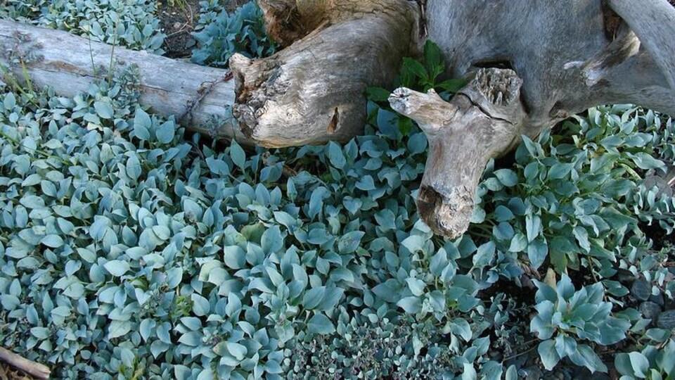Des feuilles vertes poussent dans le sable près d'une souche d'arbre.