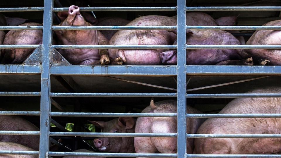 Des porcs entassés dans un camion.
