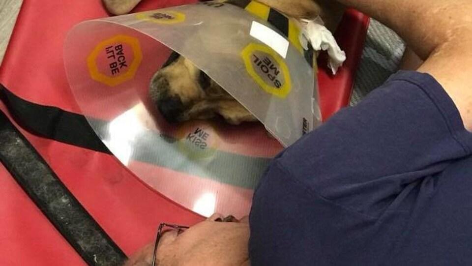 Un homme allongé au sol, réconforte sa chienne attachée à un brancard. Elle a un collet en plastique et une patte bandée.