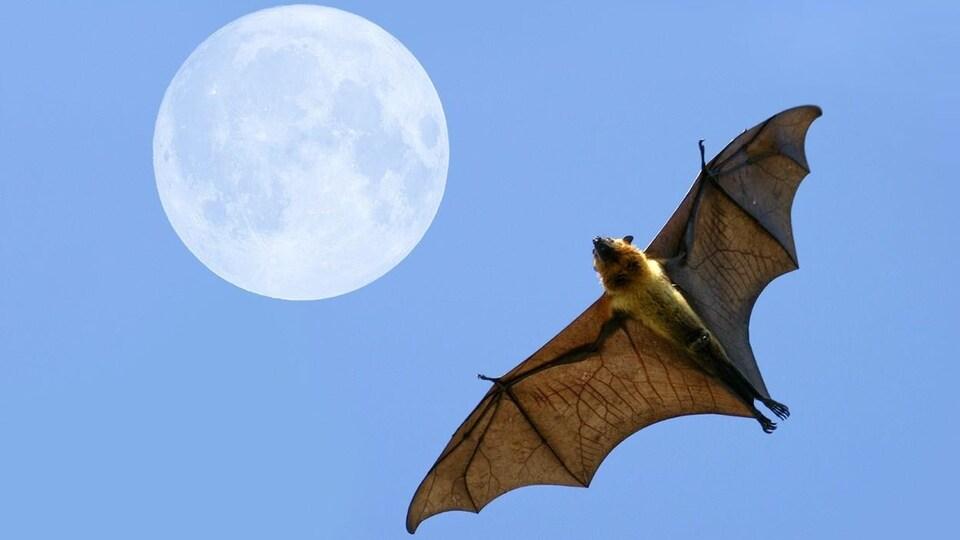 Contre plan d'une chauve-souris en vol avec en arrière-plan une pleine lune.