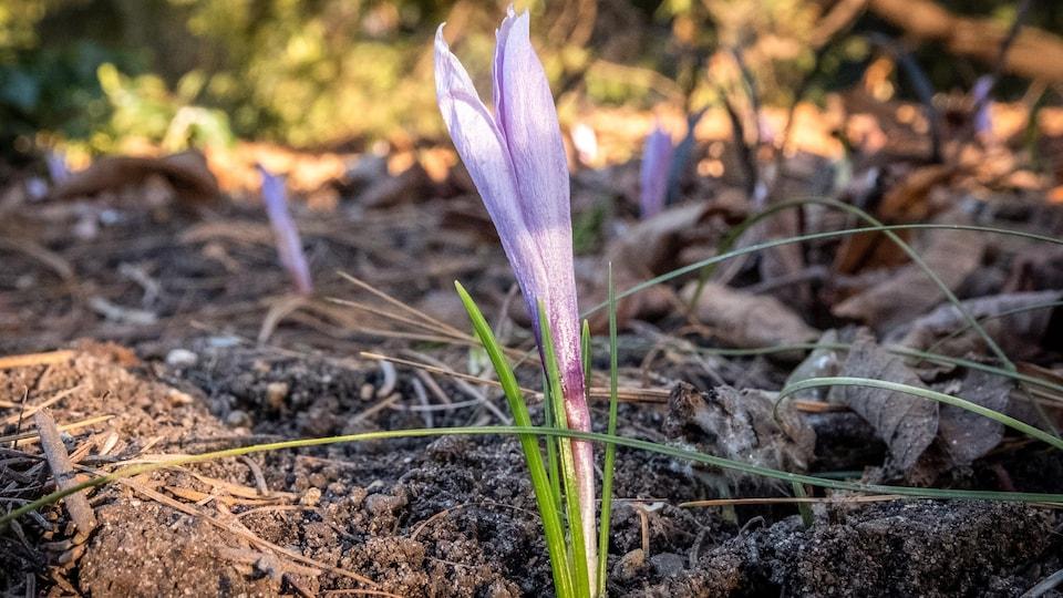 De petites fleurs mauves, des crocus, sortent de terre.