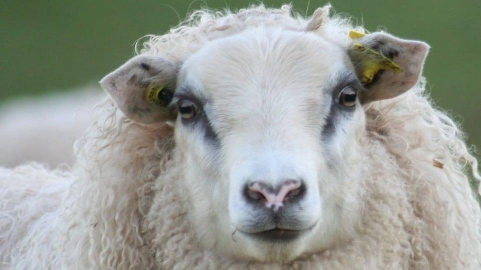 Gros plan sur un agneau Icelandic de la Ferme le biscornu, près de Rimouski.