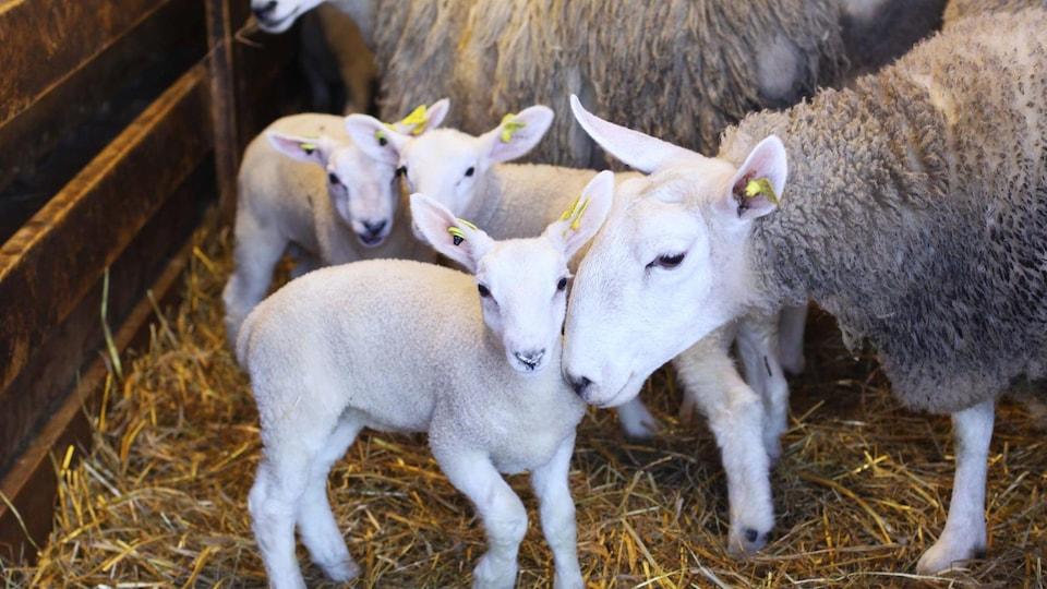 Des agneaux et des brebis se tiennent dans la bergerie.