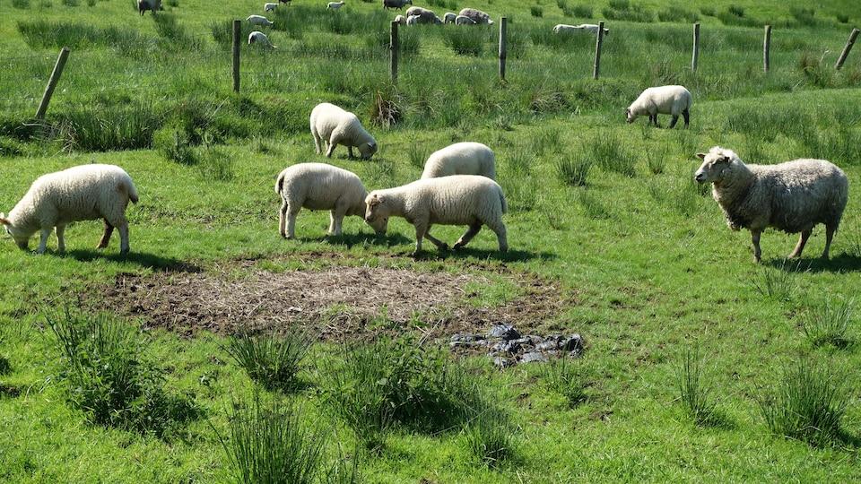 Des moutons broutent dans un champ.