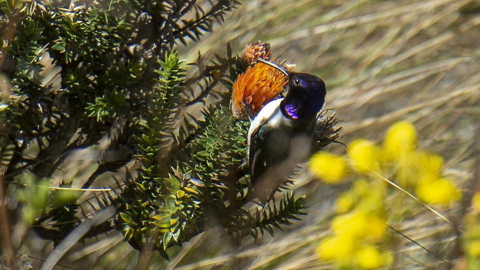 Un colibri équatorien accroché à une fleur.