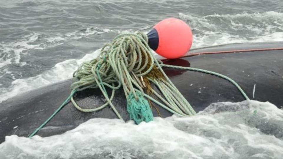 Une baleine noire, empêtrée dans de l'équipement de pêche, dans la baie de Fundy.
