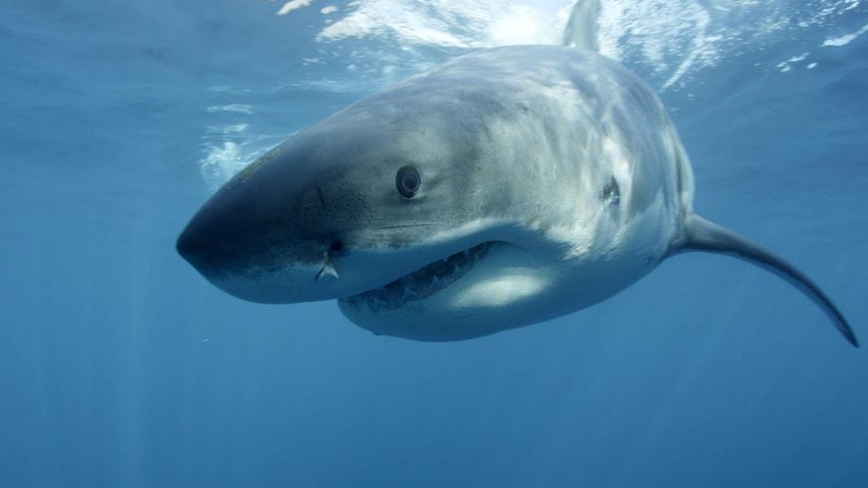 Le grand requin blanc est une espèce en voie de disparition au Canada.