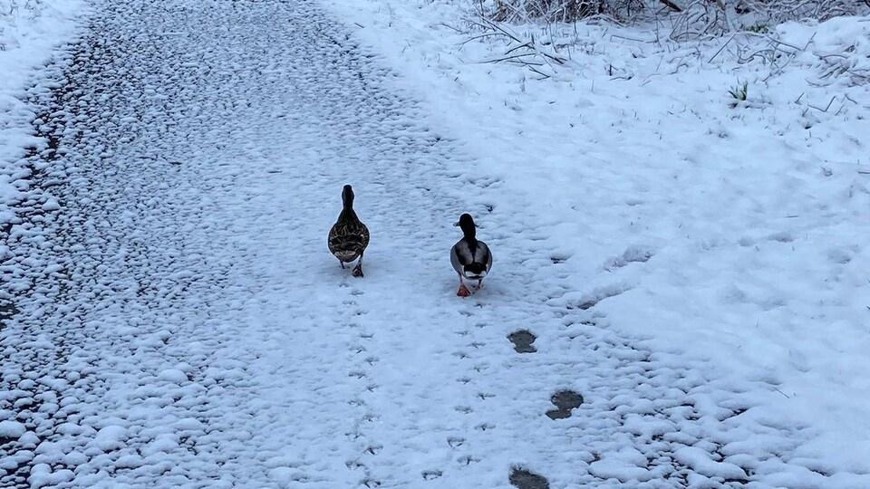 Deux canards marchent en laissant des traces dans la neige sur un sentier piéton de la région de Québec.