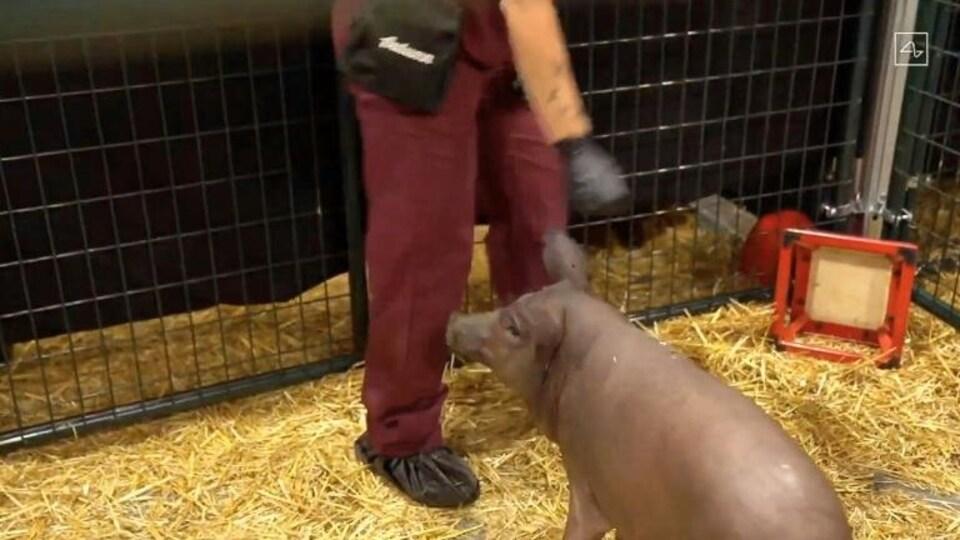 Un humain interagit avec un cochon dans son enclos.