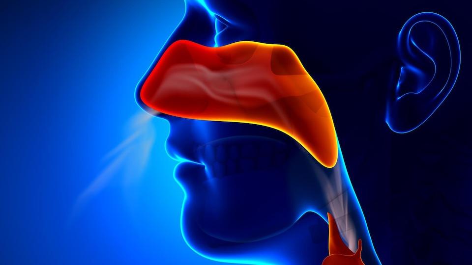Illustration montrant de l'air passant dans le nez d'un humain.