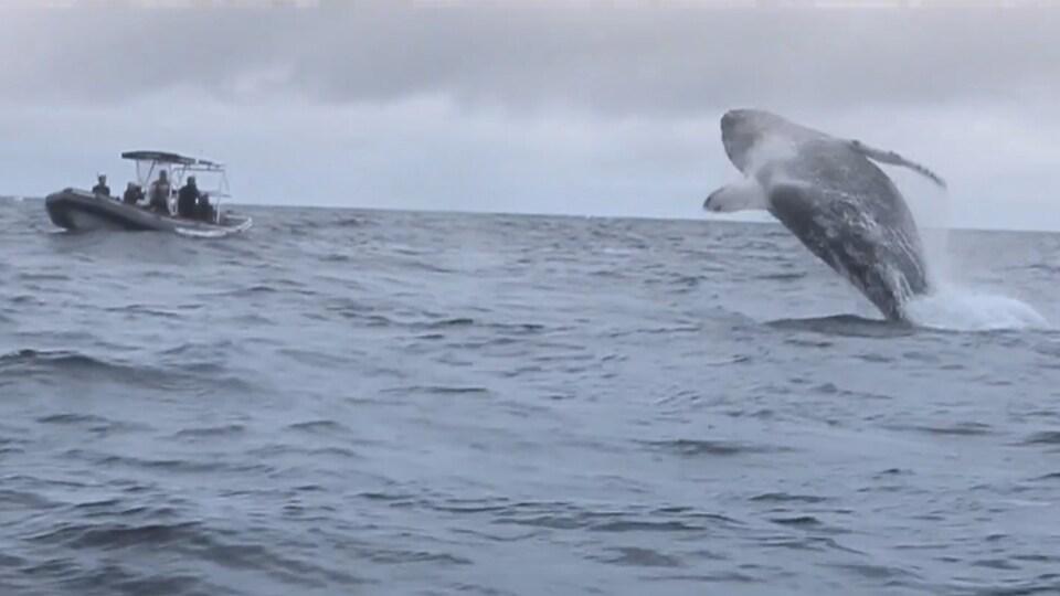 Des touristes d'une croisière aux baleines regardent une baleine à bosse sauter hors de l'eau.