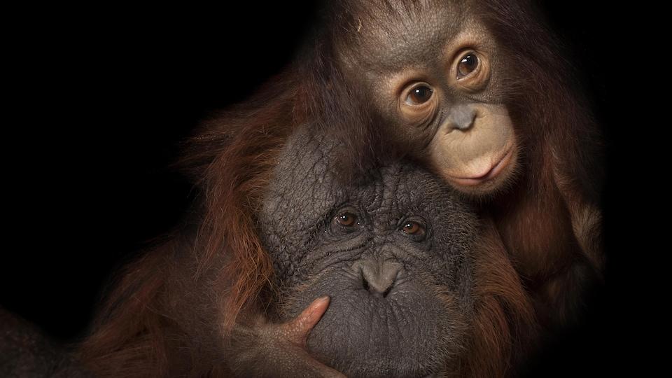 Deux orangs-outans.