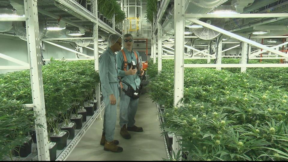 Des employés examinent des plants de cannabis qui poussent dans l'usine