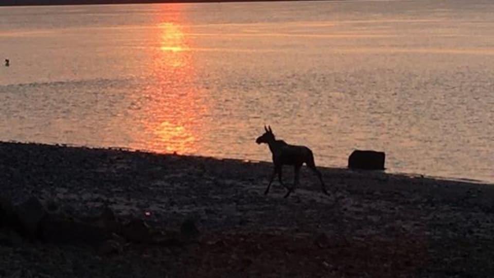Une photo du jeune orignal a été captée à l'aurore dans le secteur de la Baie de Beauport.