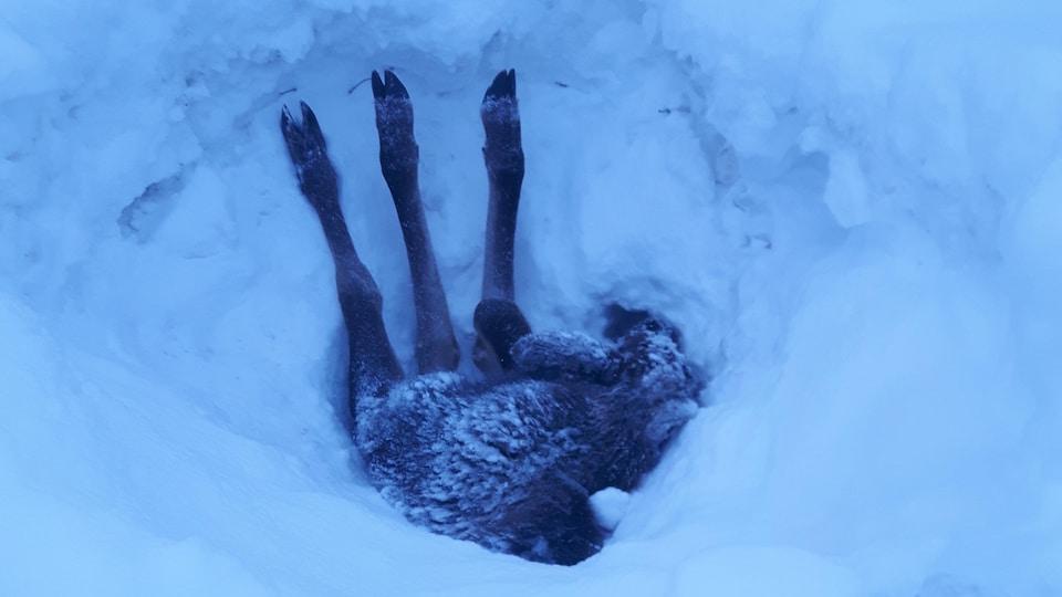 Vue sur des pattes d'orignal sortant d'un banc de neige.