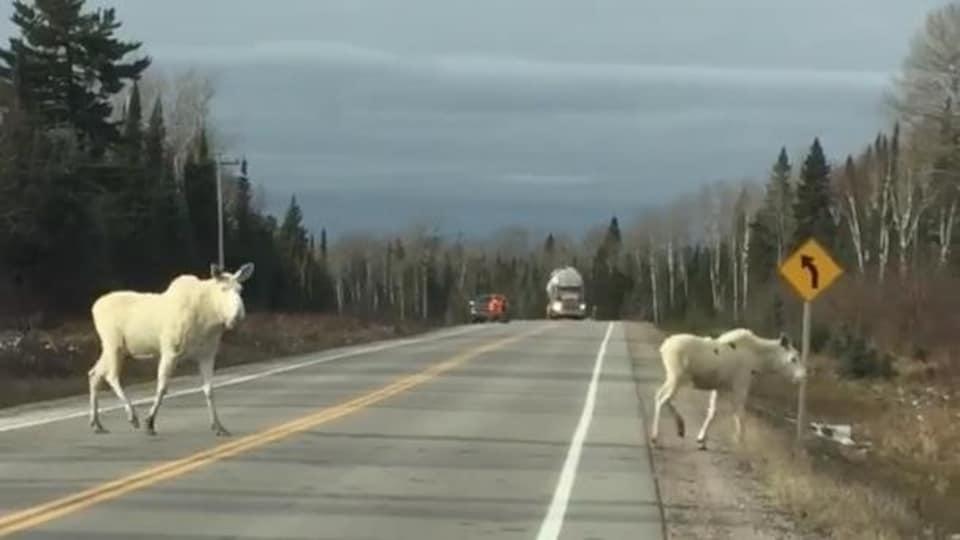 Deux orignaux blancs sur la route