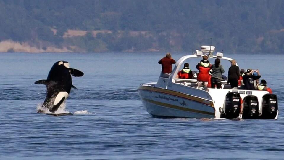 Un bateau d'observation des baleines, avec une dizaine de personnes à son bord, avance dans les eaux près de la côte, alors qu'une orque jaillit de la mer près de l'embarcation.