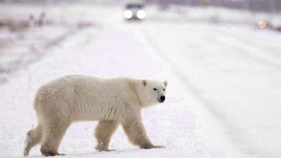 Un ours blanc sur une route enneigée le jour et au fond les phares d'une voiture.