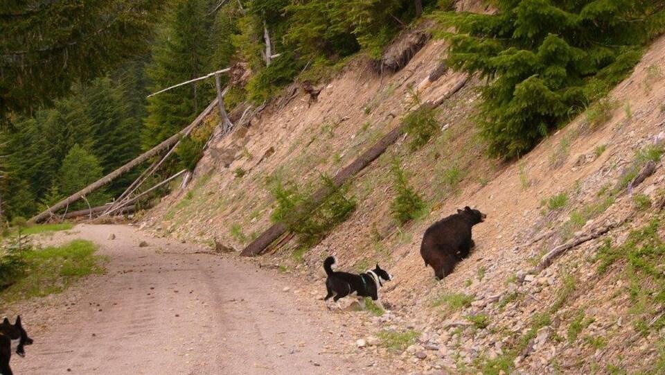 Deux chiens d'ours de Carélie font fuir un ours noir.