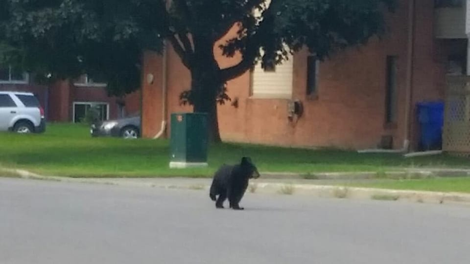 Un ours noir marche dans une rue devant un édifice.