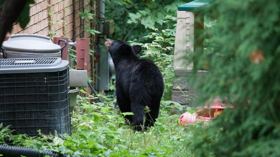 Un ours noir dans une cour résidentielle