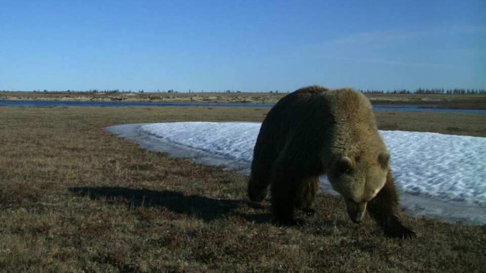 Un grizzli dans une plaine.