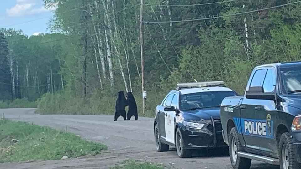 Deux ours se tiennent debout sur un chemin avec des voitures de police en avant-plan.
