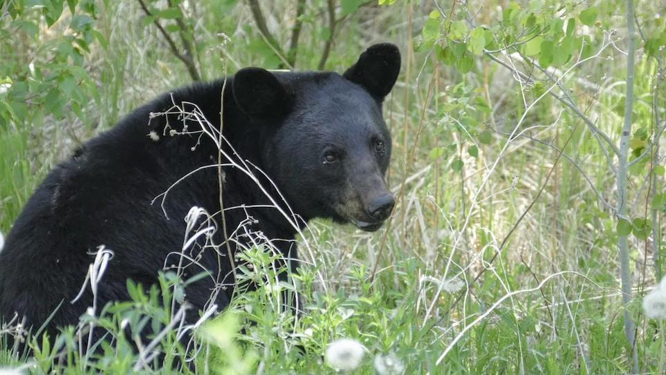 Un ours noir assis dans les herbes hautes.