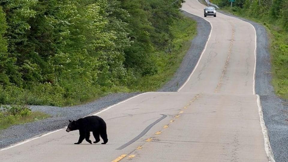 Un ours traverse une autoroute.