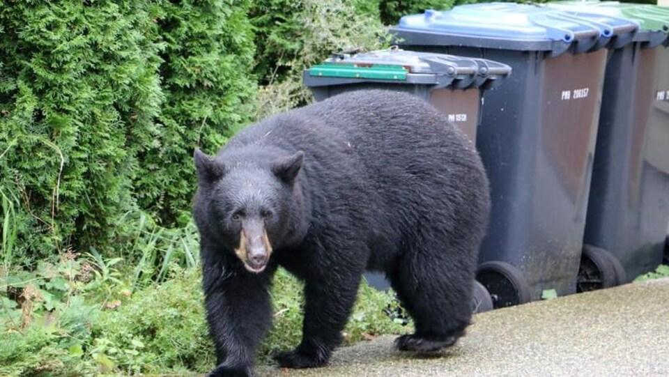 Un ours noir se promène près de poubelles non verrouillées à Port Moody.