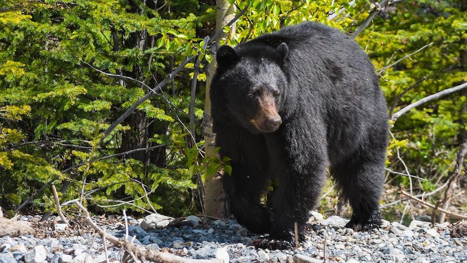 Un ours noir, sur des roches.