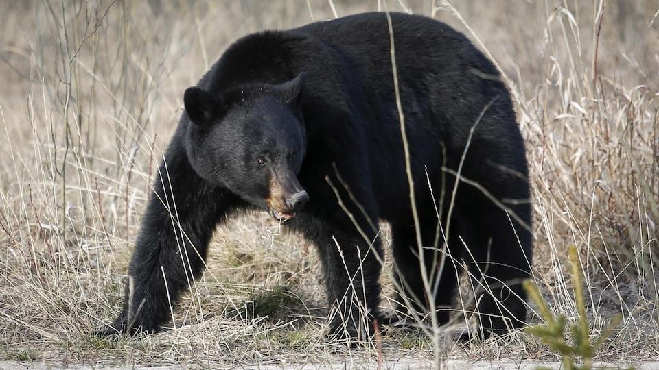 Un ours noir dans la nature.