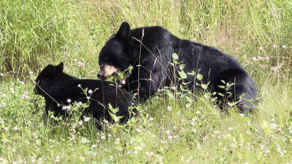 Une maman ours et son petit ours noir sont dans un champs d'herbe.