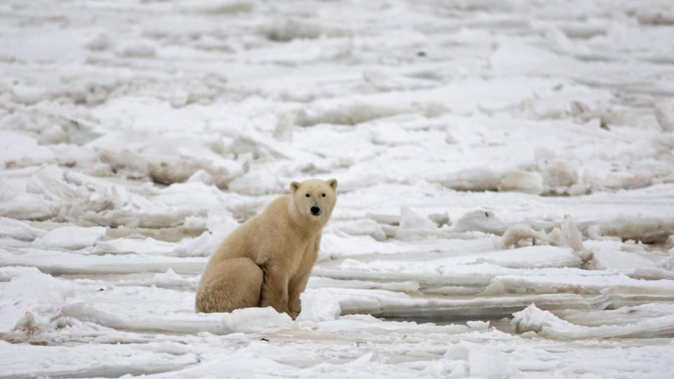 Un ours polaire