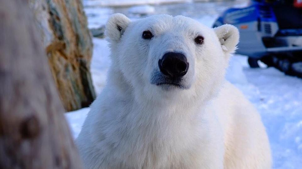 Un ours polaire en gros plan devant une motoneige.
