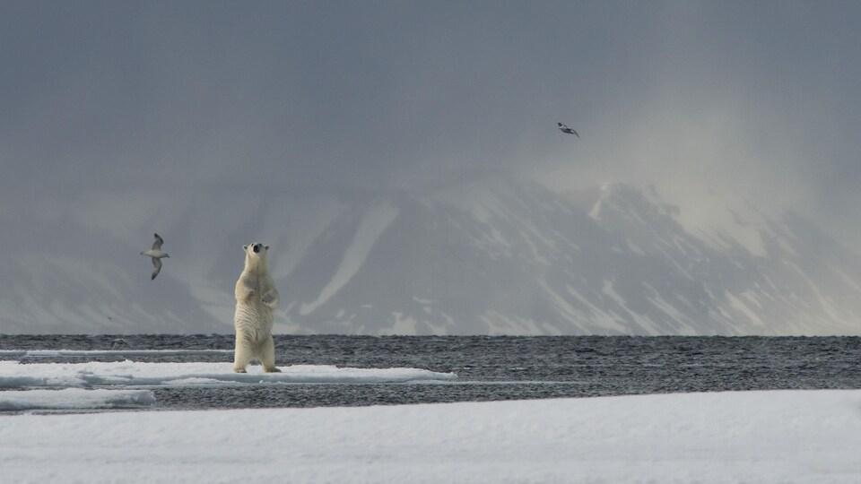 Un ours polaire se tient sur deux pattes sur une banquise.